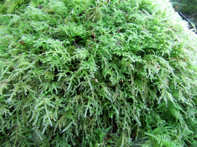 B) Dry Tree Moss 1 Square Foot